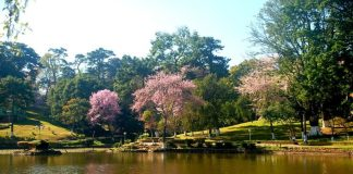 Cherry blossom. Photo by: Forests and Environment Department of Meghalaya.