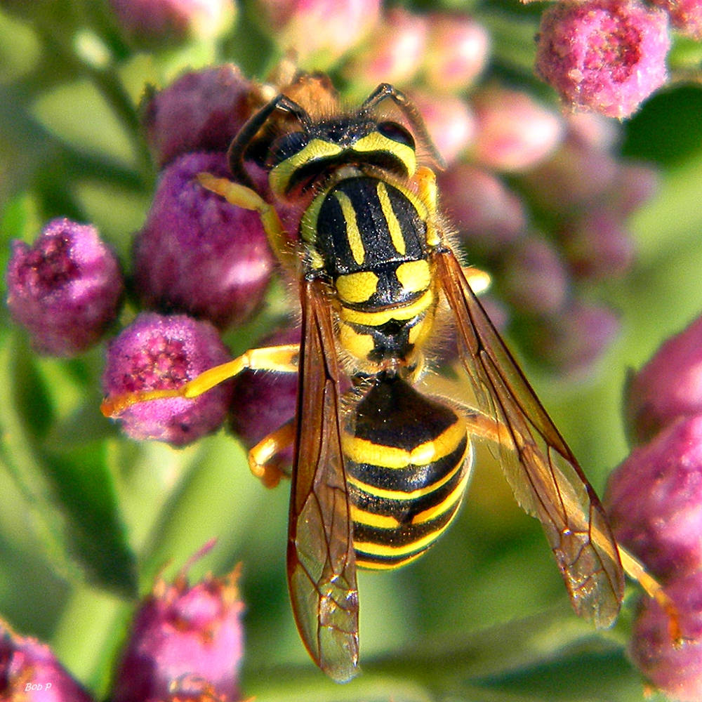 Southern Yellowjacket (Vespula squamosa). Photo by:  Bob Peterson,  Florida. https://upload.wikimedia.org/wikipedia/commons/2/2f/Southern_Yellowjacket_%28Vespula_squamosa%29_%287225863346%29.jpg