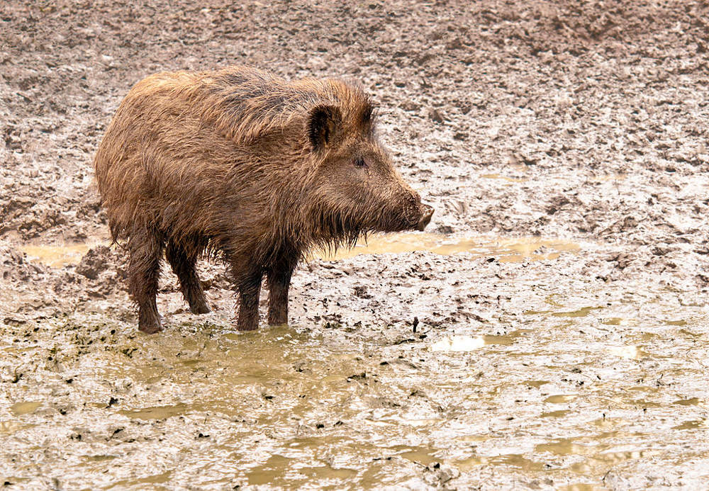 A young wild boar in his environment in the Wisentgehege Springe game park near Springe, Hanover, Germany. Photo by: Michael Gäbler. https://upload.wikimedia.org/wikipedia/commons/thumb/c/c0/A_young_wild_boar_in_his_environment.jpg/1024px-A_young_wild_boar_in_his_environment.jpg