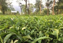 Tea leafs at the Tea gardens of Palampur in Himachal Pradesh, India. Photo by: Sonia Chauhan.