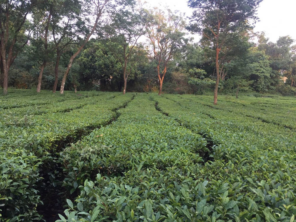 Tea field at the Tea Gardens of Palampur in Himachal Pradesh, India. Photo by: Sonia Chauhan.