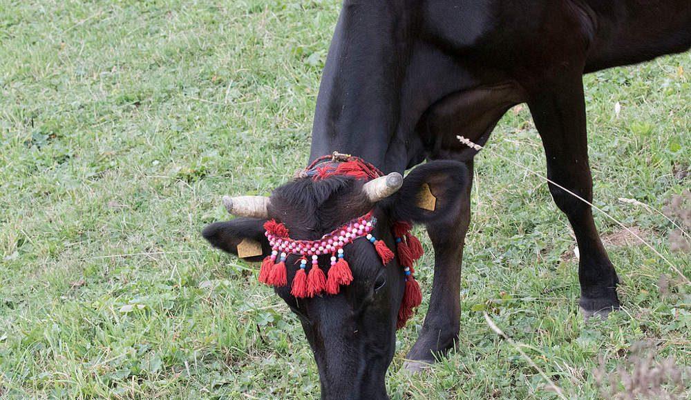 A cow of Turkish Natıve Black Cattle breed. Photo by: Zeynel Cebeci.
